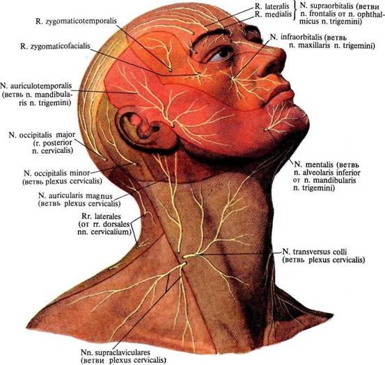 нервов головы и шеи;
