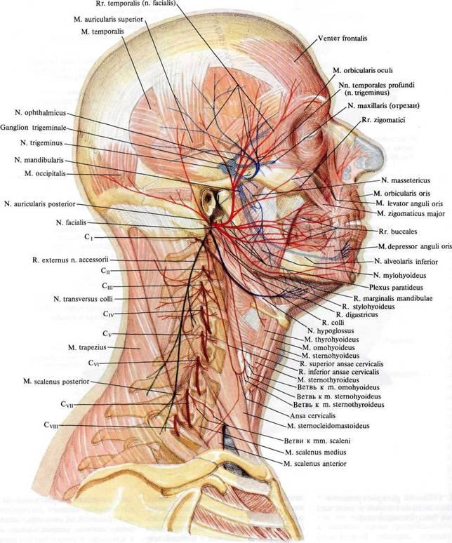 Нервы головы и шеи; вид