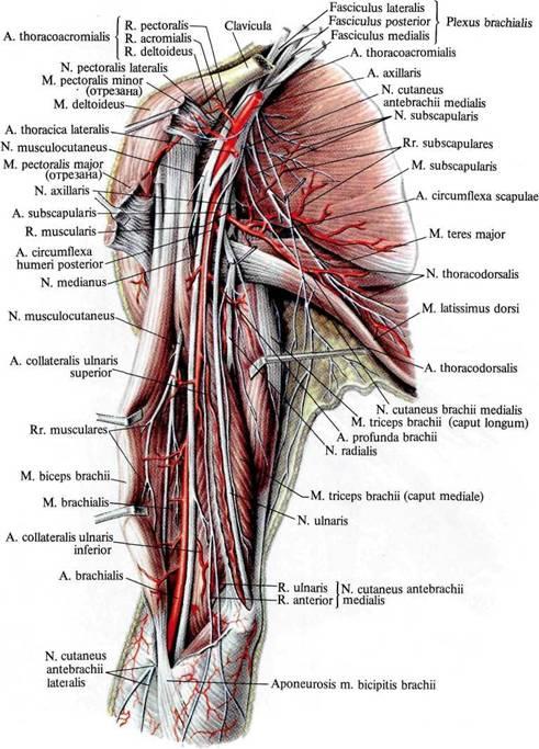 Мышца шеи подкожная фото