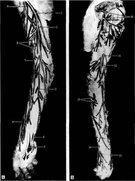 1 - поверхностная ветвь лучевого нерва; 2—соединительная ветвь между локтевым и лучевым нервами; 3 - тыльные...