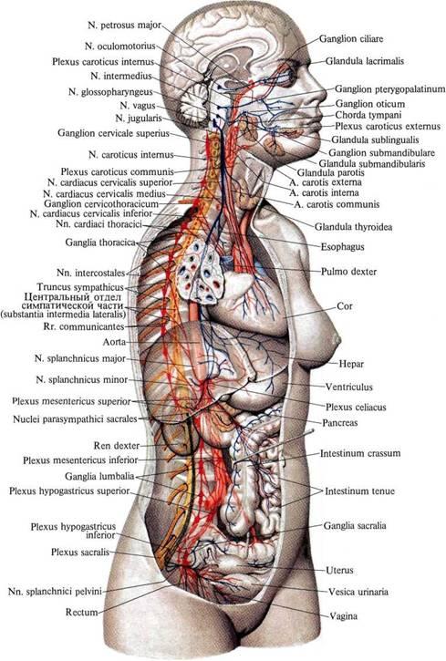 нервная система (схема).