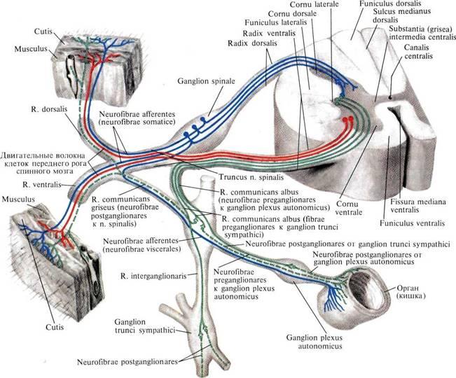 нервной системы (схема)
