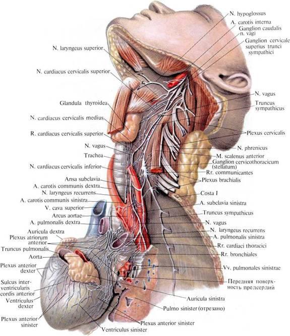 Нервы сердца; вид слева