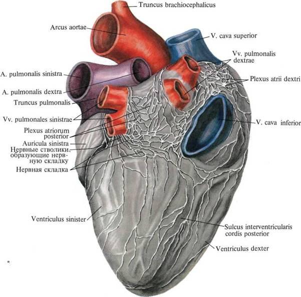 анатомическое изображения сердца:
