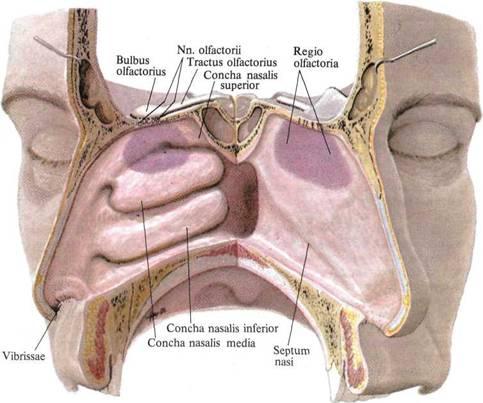 половины полости носа и