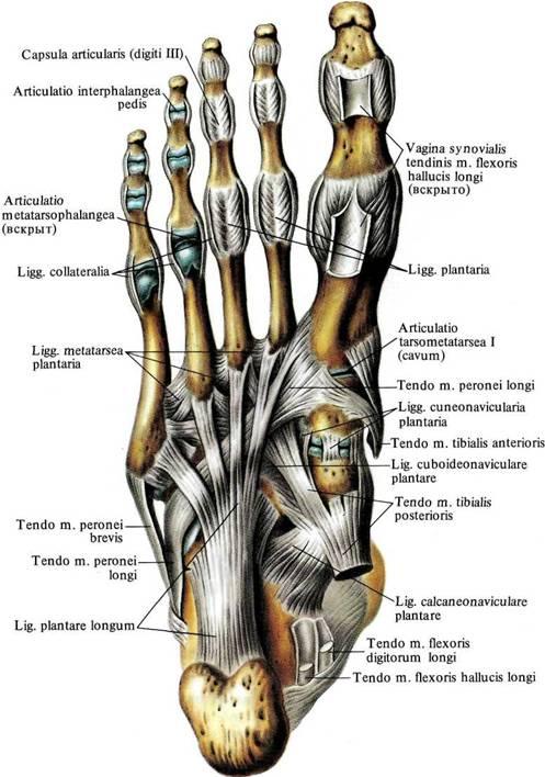 межфаланговые суставы стопы на латинском