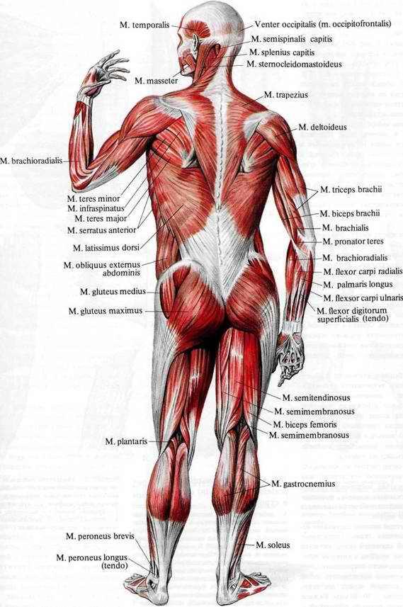 Мышцы спины, mm. dorsi.