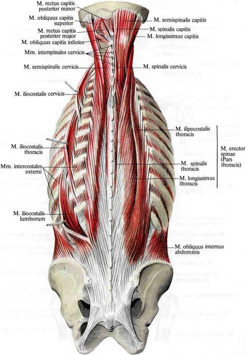 Мышцы спины, задней области