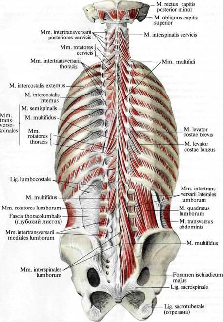 Мышцы спины и подзатылочные