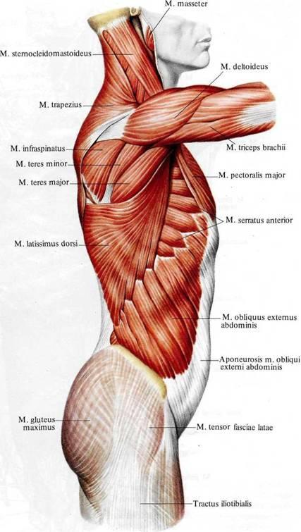Мышцы и фасции туловища;