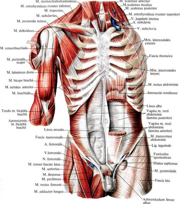 Большая и малая грудные мышцы
