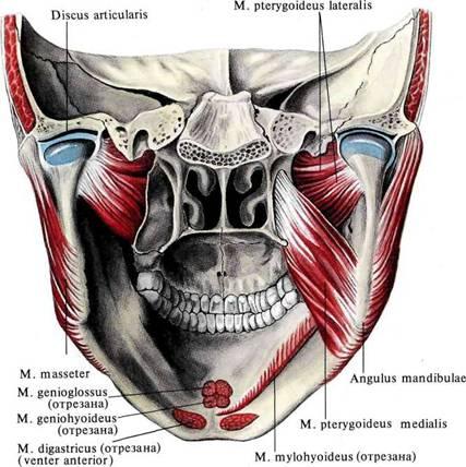 340. Жевательные мышцы; вид справа.  (Поверхностный листок височной фасции частично разрезан и отвернут.