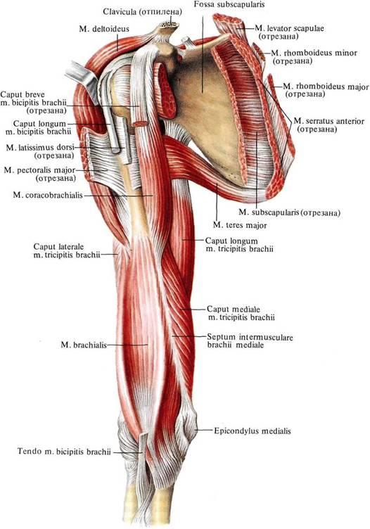 Мышцы правого пояса верхней