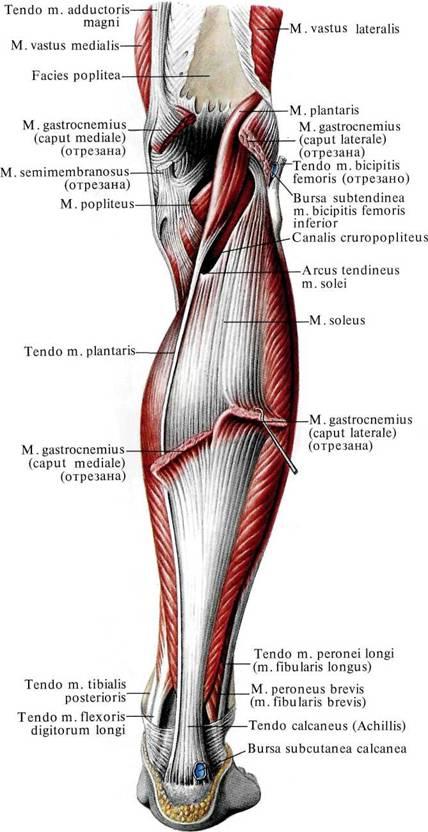 Мышца икроножная фото