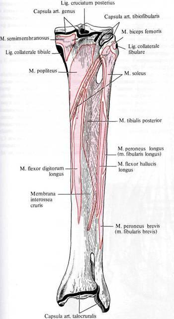 связок и суставных капсул