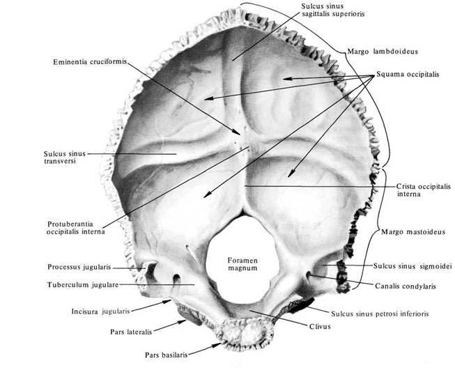 череп атлас картинки