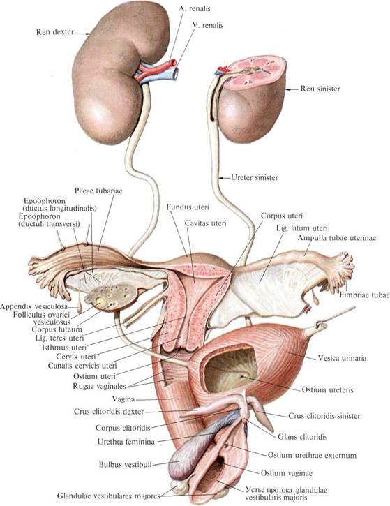 613. Мочеполовой аппарат женщины (полусхематично).  (Передний листок правой широкой связки матки удален.