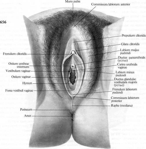 Женские половые органы, organa