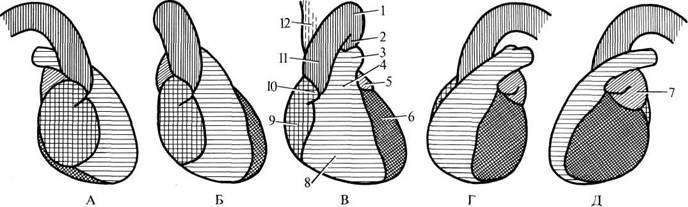 Положение органов в грудной