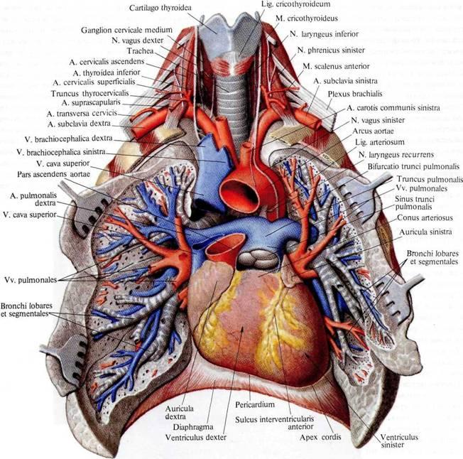 кровообращения(схема).