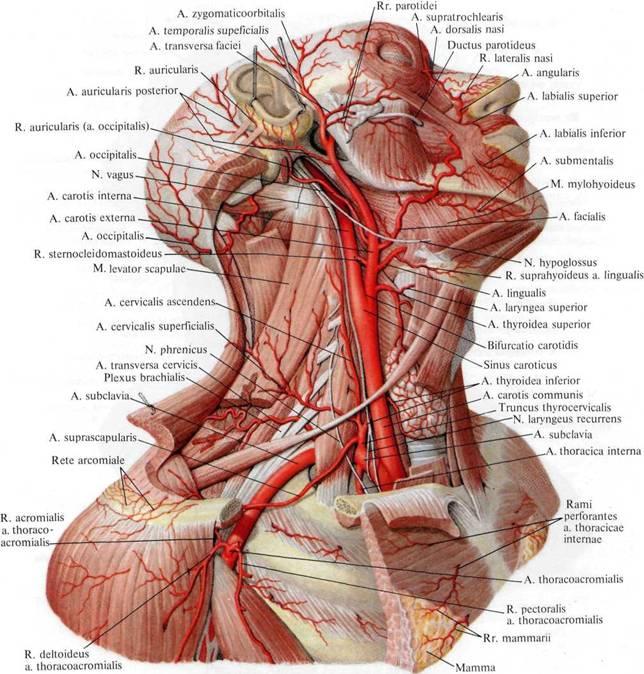 Артерии головы и шеи;