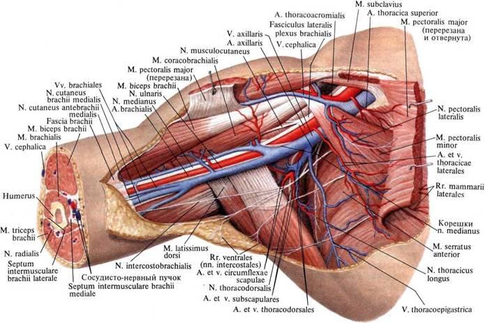 Нервы, артерии и вены