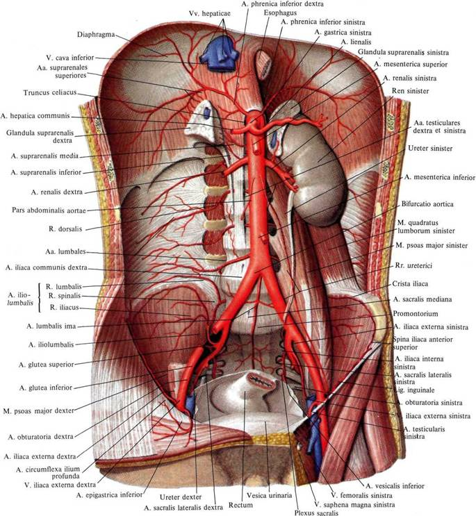 Брюшная часть аорты, pars