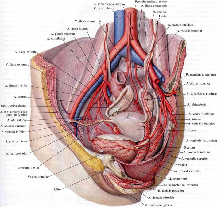 Порно анатомия влагалища