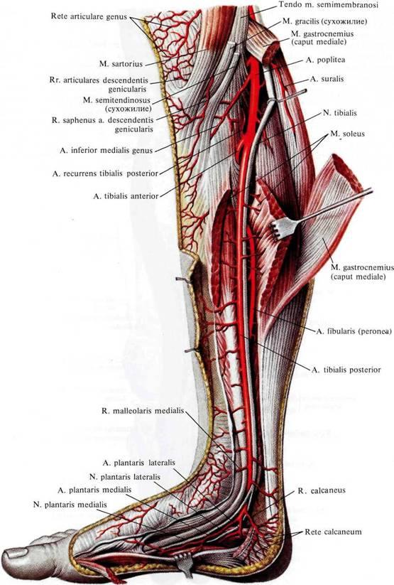 Спускаясь вниз по canalis cruropopliteus, она на границе средней трети голени с нижней выходит из-под медиального.