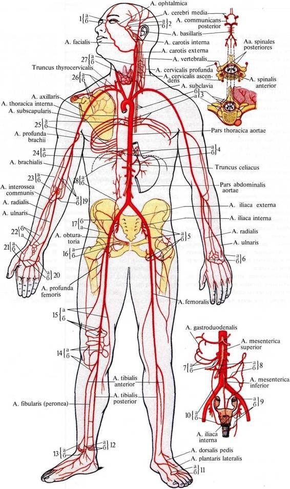 I — верхний край мышцы;
