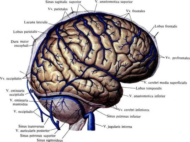 ...вен головного... собирают кровь от верхнелатеральной, медиальной и нижней поверхностей большого мозга.
