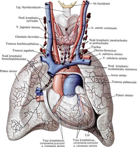 Лимфатические сосуды сердца