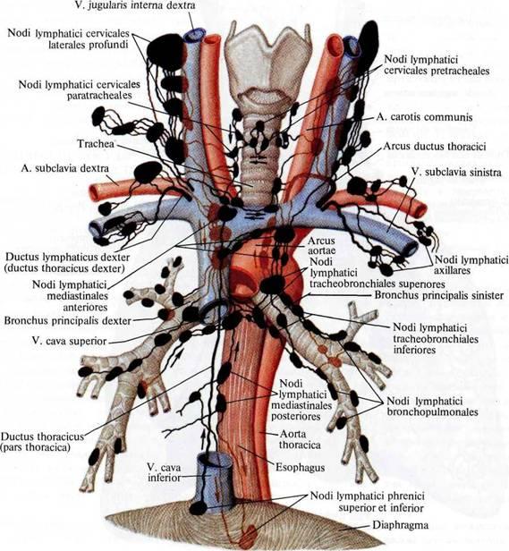 Лимфатические сосуды тонкой и