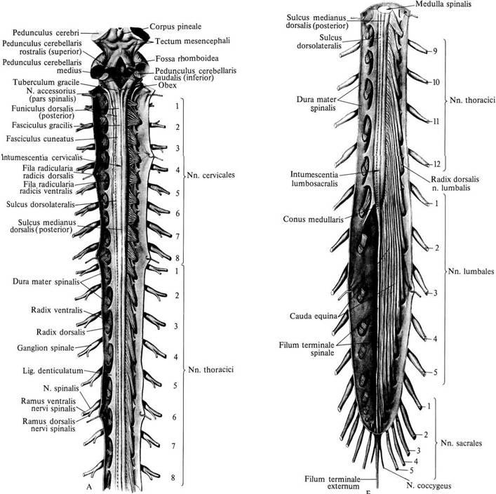 Нервы спинномозговые фото
