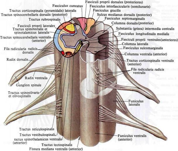 латеральный корково-спинномозговой (пирамидный) путь, tractus corticospinalis (pyramidalis) lateralis.