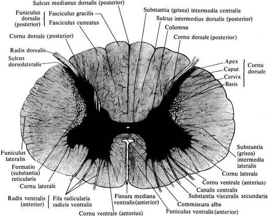 схема спинной мозг - Сумки: http://bag.bigvps.ru/shema-spinnoj-mozg.html