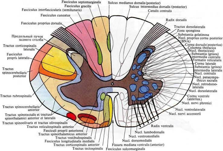 Спинной мозг, medulla spinalis (схема).  (Поперечный разрез спинного мозга; распределение серого и белого вещества.