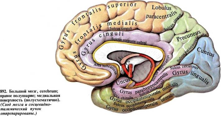 The Gallery For Gt Subcallosal Gyrus