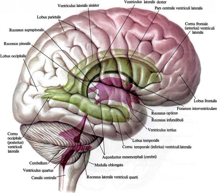 Тело Мозолистое фото