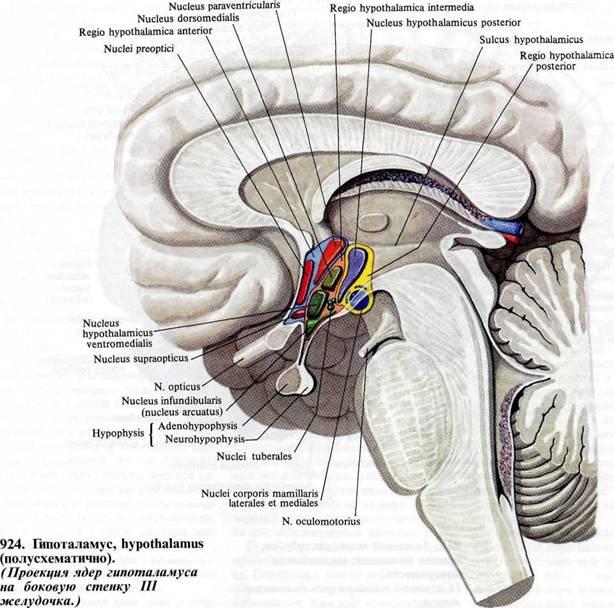 связывают гипоталамические ядра между собой, а также с центрами прозрачной перегородки, покрышкой среднего мозга...