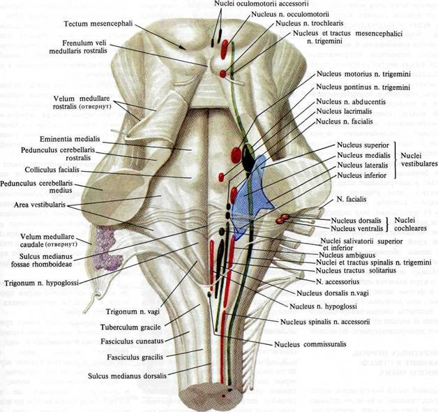 Мозг продолговатый фото
