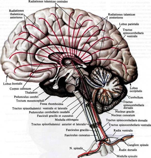 В их составе идут нервные волокна от ядер моста к коре мозжечка.  Возникающие в ядрах моста проводящие пути к коре...