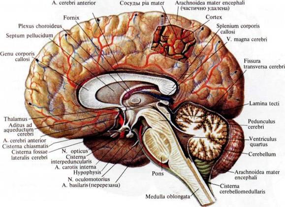оболочки головного мозга,