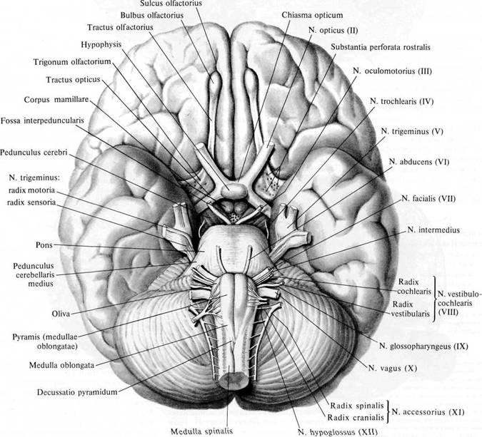 Нерв преддверно-улитковый фото
