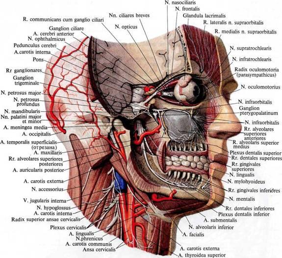 Нервы головы; тройничный нерв,