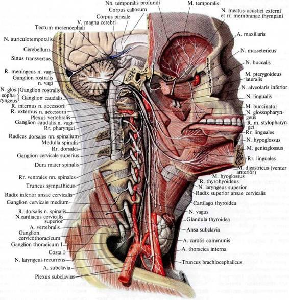 Нервы головы и шеи;