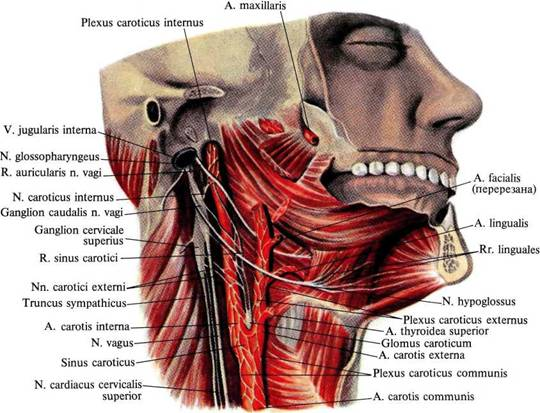 и блуждающего нервов к