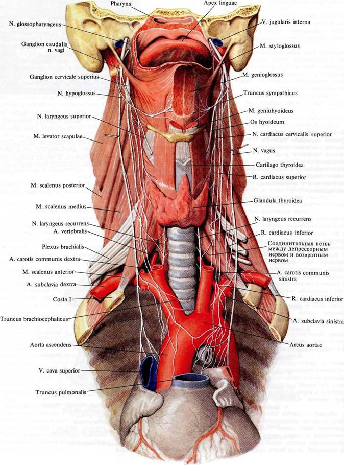 Нерв языкоглоточный фото