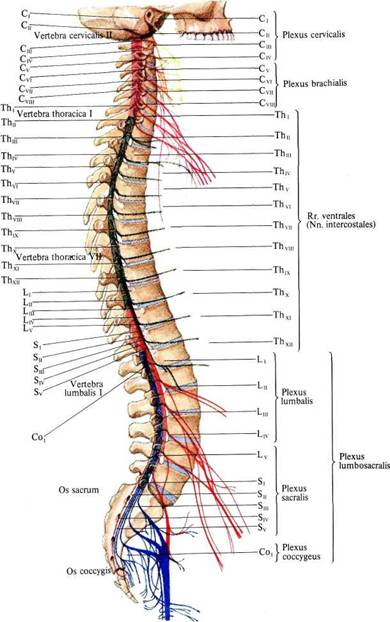 Поясничные, крестцовые и копчиковый нервы.