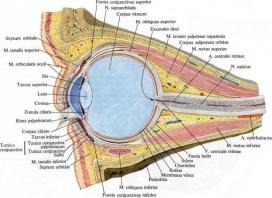 1104. Сагиттальный разрез глазницы и глазного яблока.